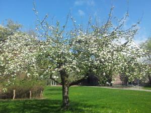 "Appletree in the ""Jubi"" garden"